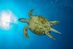 一只绿浪乌龟的底部 免版税图库摄影