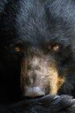 一只黑熊的画象 库存照片