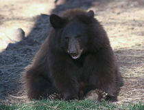 一只黑熊Cub的画象 库存照片