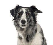 一只黑白博德牧羊犬的特写镜头, 5岁 库存照片