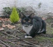 一只黑白猫 库存图片