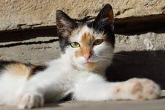 一只黑白色红色猫 库存图片