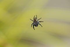 一只黑白蜘蛛的腹边在空中特写镜头暂停了 免版税库存图片