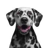 一只黑白被察觉的达尔马提亚狗的画象 图库摄影