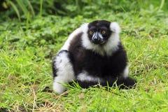 一只黑白Ruffed狐猴 库存图片