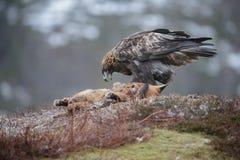 从一只死的狐狸的鹫换气 免版税库存图片