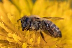 一只死的蜂的宏观图象在一朵花的从在衰落, pl的一间蜂房 免版税库存照片