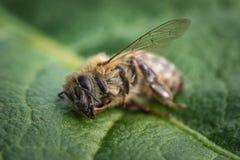 一只死的蜂的宏观图象在一片叶子的从在衰落, plag的一间蜂房 免版税库存图片
