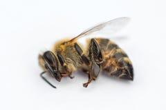 一只死的蜂的宏观图象在白色背景的从在d的一间蜂房 库存照片