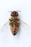 一只死的蜂的宏观图象在白色背景的从在d的一间蜂房 库存图片