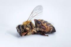 一只死的蜂的宏观图象在白色背景的从在d的一间蜂房 免版税图库摄影