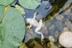 一只死的青蛙在池塘 免版税库存照片