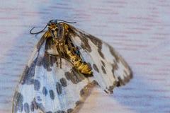 一只死的飞蛾的特写镜头 库存图片