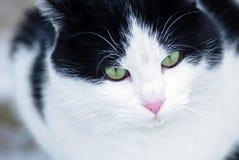 一只绿眼的猫的画象 免版税库存照片