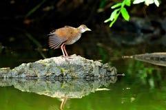 一只水禽鸟在夏天 免版税库存照片
