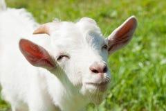 一只滑稽的山羊的画象,关闭 免版税库存照片