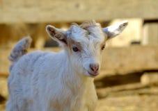 一只滑稽的幼小山羊的画象 免版税库存照片