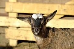 一只滑稽的幼小山羊(goatling)的画象 免版税库存图片