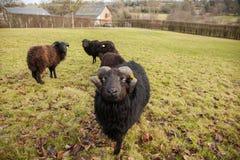 一只黑绵羊公羊和牧群  免版税库存图片