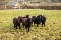 一只黑绵羊公羊和牧群  库存图片