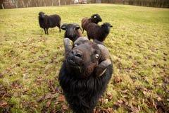 一只黑绵羊公羊和牧群  图库摄影