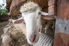 一只绵羊在农场 免版税库存照片
