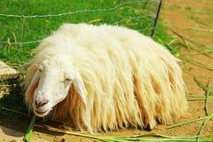 一只绵羊在农场 免版税库存图片
