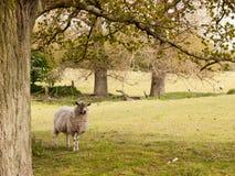 一只绵羊在树荫下在一个绿色领域的一棵树下在春天 免版税库存图片