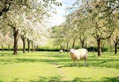一只绵羊在美丽的果树园 库存图片