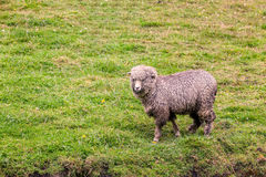 一只绵羊在绿色农田草甸 免版税库存图片