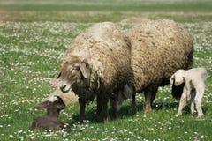 一只绵羊在绿草牧场地  免版税库存图片