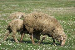一只绵羊在绿草牧场地  图库摄影