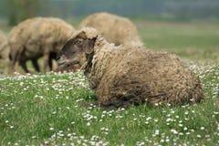 一只绵羊在绿草牧场地  免版税图库摄影