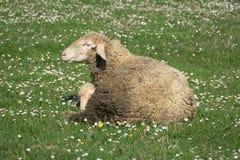 一只绵羊在绿草牧场地  库存图片