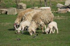 一只绵羊在绿草牧场地  免版税库存照片