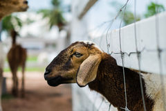 一只绵羊的面孔在笼子的 免版税库存图片