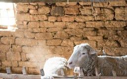 一只绵羊的画象在谷仓 图库摄影