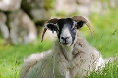 一只绵羊的画象在Portree附近的Camastianavaig,斯凯岛小岛,高地,苏格兰,英国 库存照片