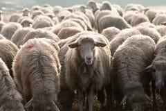 仅一只绵羊看见照相机认为不同 库存照片