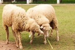 一只绵羊 免版税图库摄影