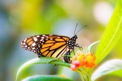一只黑脉金斑蝶的宏指令在花的 库存图片