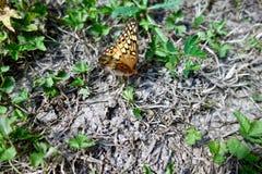 一只黑脉金斑蝶的宏指令在草甸 图库摄影