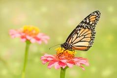 一只黑脉金斑蝶的梦想的图象在浅粉红色的百日菊属花的 库存照片