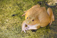 一只绿色可食的青蛙,亦称共同的水青蛙,坐木头 可食的青蛙是水池青蛙和沼泽青蛙杂种  免版税图库摄影