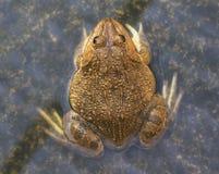 一只绿色可食的青蛙,亦称共同的水青蛙,坐木头 可食的青蛙是水池青蛙和沼泽青蛙杂种  免版税库存照片