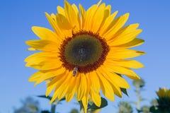一只黄色向日葵和蜂蜜蜂 图库摄影