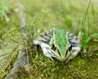 一只绿色和棕色牛蛙的宏指令 库存照片