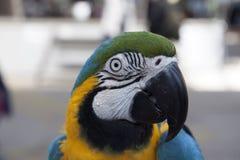 一只黄色和蓝色金刚鹦鹉的Closup画象 免版税图库摄影