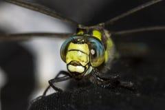一只绿色和蓝色蜻蜓的前面的细节 库存照片