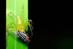 一只绿色天猫座蜘蛛有她的犬齿在飞行 库存照片